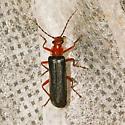 Podabrus sp - Podabrus pruinosus