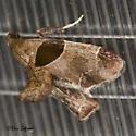 Small Moth - Tosale oviplagalis - female