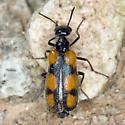Elegant Blister Beetle? - Eupompha elegans