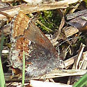 Maybe an elfin 2 - Callophrys henrici