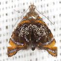 Skullcap Skeletonizer Moth - Hodges #2629 - Prochoreutis inflatella