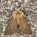 Spilosoma danbyi - Spilosoma pteridis