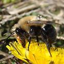 Southeastern Blueberry Bee? - Habropoda laboriosa