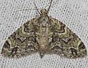 Mottled Gray Carpet - Hodges#7637 - Cladara limitaria