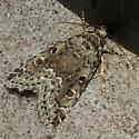 Lithacodia-like Moth? - Lithacodia musta