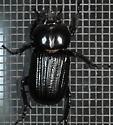 Unknown larger beetle-type - Phileurus valgus