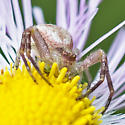 crab spider - Mecaphesa