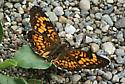 butterfly on sunny path in woods/swamp - Chlosyne harrisii - male