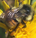 Bumble bee with orange stripe - Bombus bifarius - female