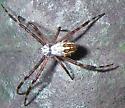 spider - Argiope florida