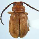 Chryso - Trichaltica tibialis