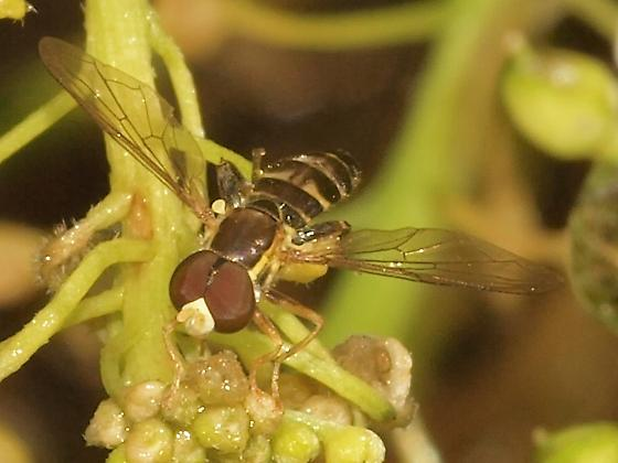 Syrphidae? 5b - Toxomerus occidentalis - male