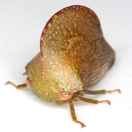 Archasia auriculata (Fitch) - Archasia auriculata