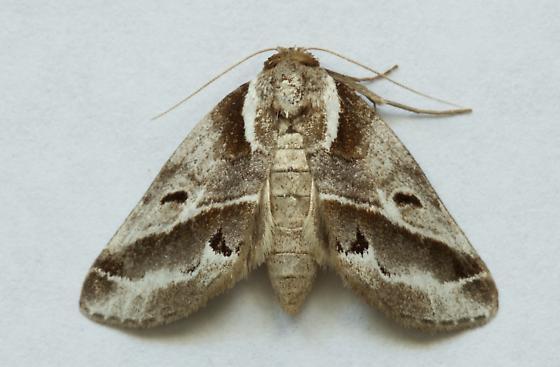 Baileya moth - Baileya doubledayi