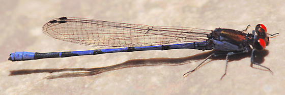 Fiery-eyed Dancer - Argia oenea - male