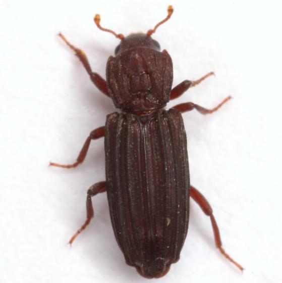 Prolyctus exaratus (Melsheimer) - Prolyctus exaratus