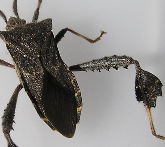 February LF Bug - Leptoglossus brevirostris