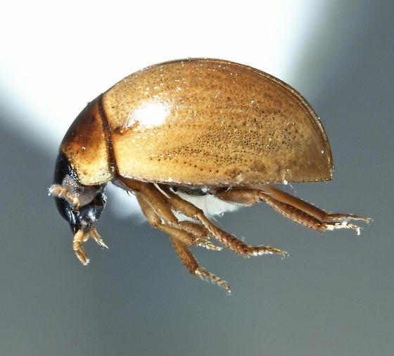 Something tiny, near Hydrophilidae? - Chaetarthria