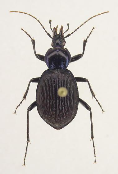 Sphaeroderus stenostomus - female