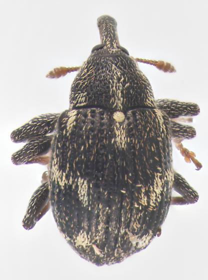Curculionidae, dorsal - Anthonomus lecontei
