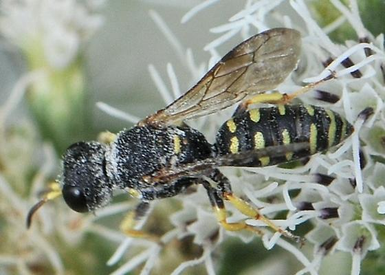Square-headed Wasp - Lestica confluenta