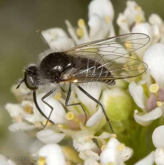 Apolysis on Desert Alyssum - Apolysis - male