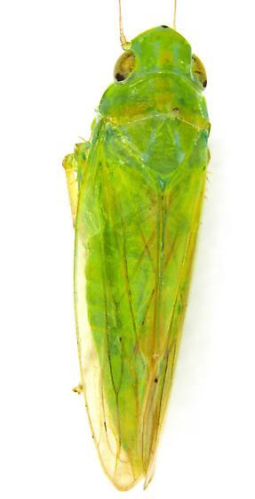 Cicadellidae - Neocoelidia