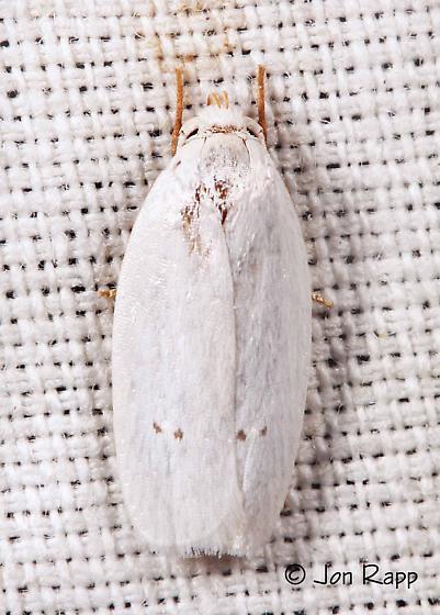 Vestal Moth - Antaeotricha albulella