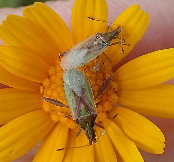 Lygaiedae sp. ? - Harmostes reflexulus - male - female