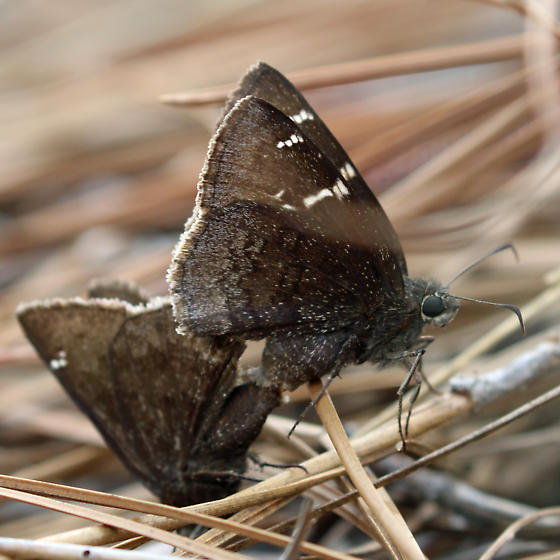 A Cloudywing Skipper with Confusing Markings - Thorybes confusis - male - female