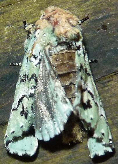 3/1/19 moth odd posture - Feralia major