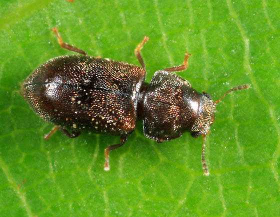 beetle - Cis submicans - female