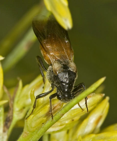 Interesting Rhipiphorus...that can actually be identified with confidence! :-) - Ripiphorus epinomiae - female
