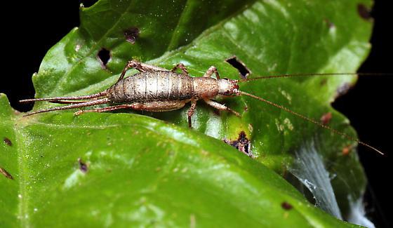 Cricket - Cycloptilum - female