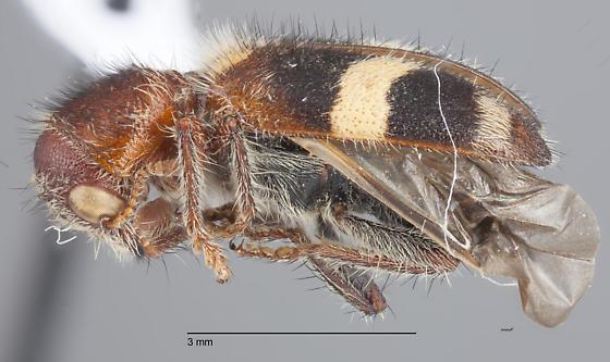 Coleoptera 26 - Enoclerus laetus