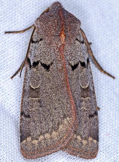 Moth, dorsal - Richia parentalis