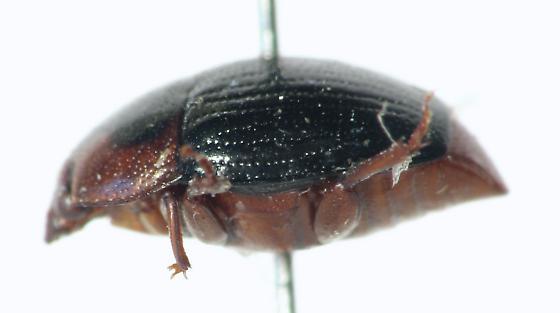 Histerid - Psilopyga nigripennis