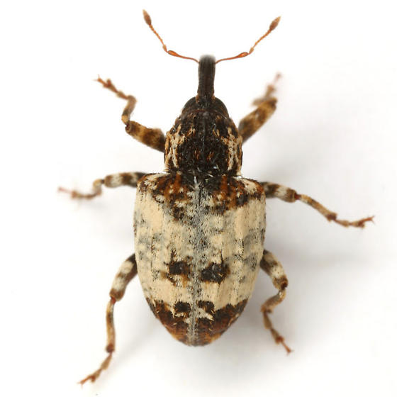 Conotrachelus leucophaeatus (Fåhraeus) - Conotrachelus leucophaeatus