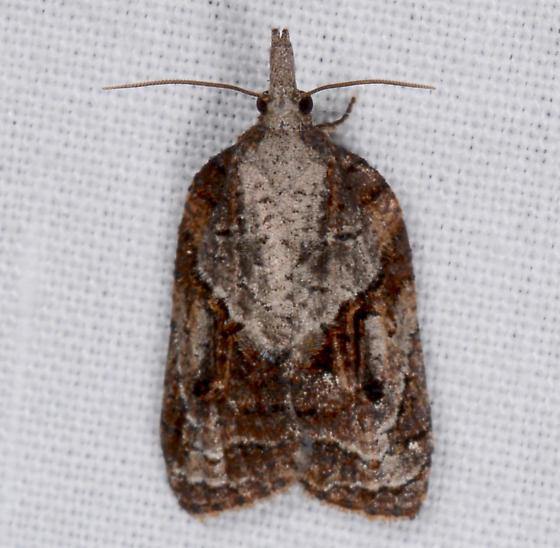 Platynota - Platynota idaeusalis