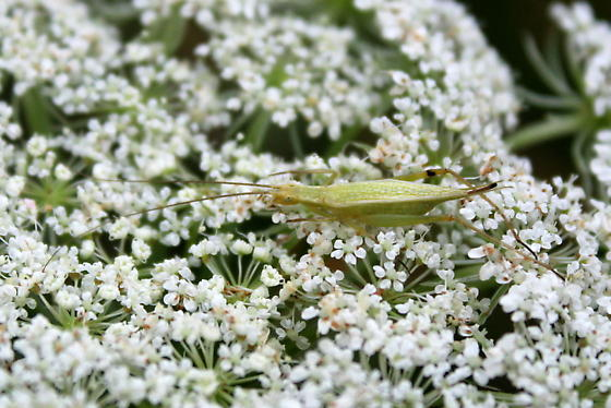 Tree Cricket resting on Queen Anne's Lace - Oecanthus nigricornis - female