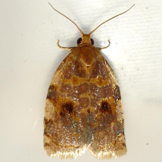 Oak Webworm - Archips fervidana