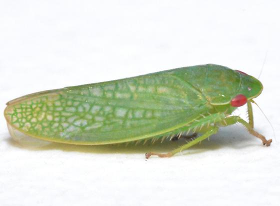 Gyponana - Gyponana protenta - female