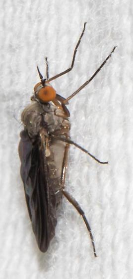 Dark-winged fly - Rhamphomyia - female