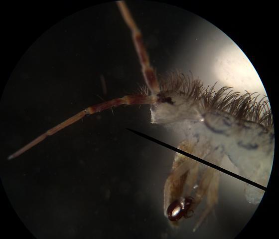Springtail - Orchesella villosa