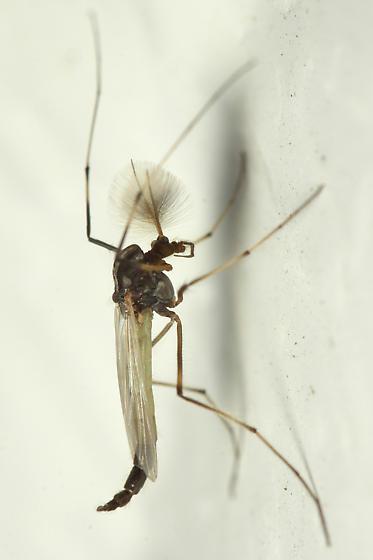 Midge - Microtendipes - male
