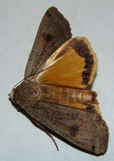 Noctua pronuba--Large Yellow Underwing - Noctua pronuba