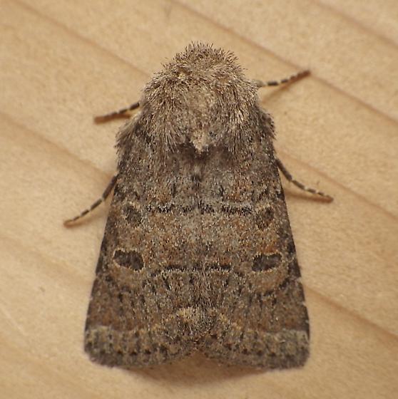 Noctuidae: Protorthodes oviduca - Protorthodes oviduca