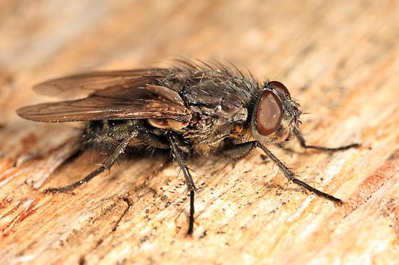 fly - Pollenia vagabunda - male