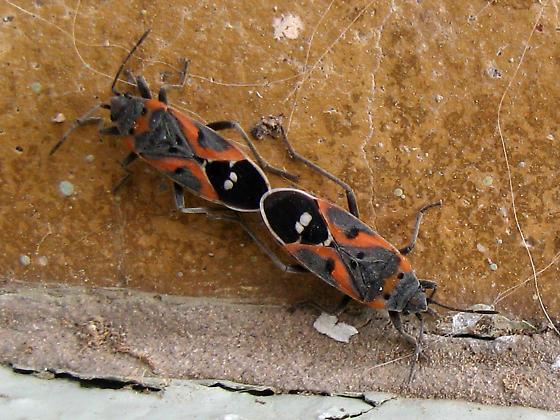Small Milkweed Bugs mating - Lygaeus kalmii - male - female