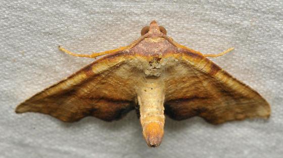 Moth with burnt lines - Plagodis fervidaria - male
